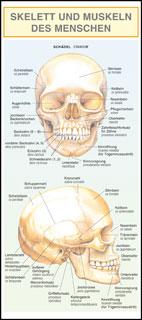 Skelett und Muskeln des Menschen